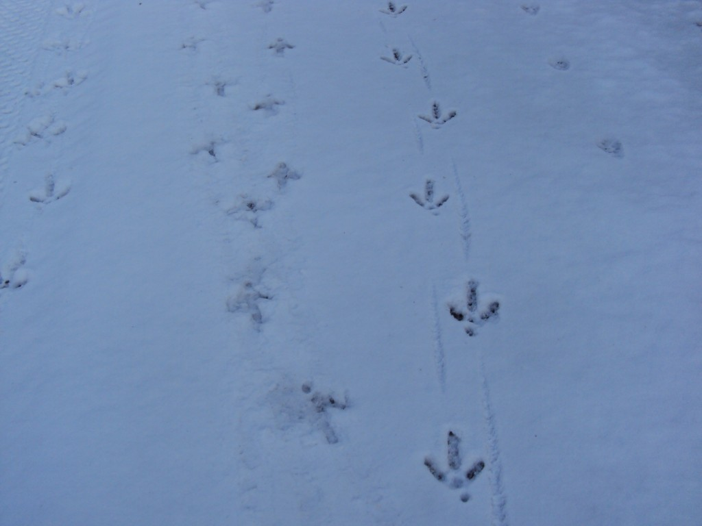 Raccoon Tracks Identification of Raccoon Footprints